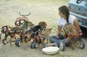 disabled dogs on wheels