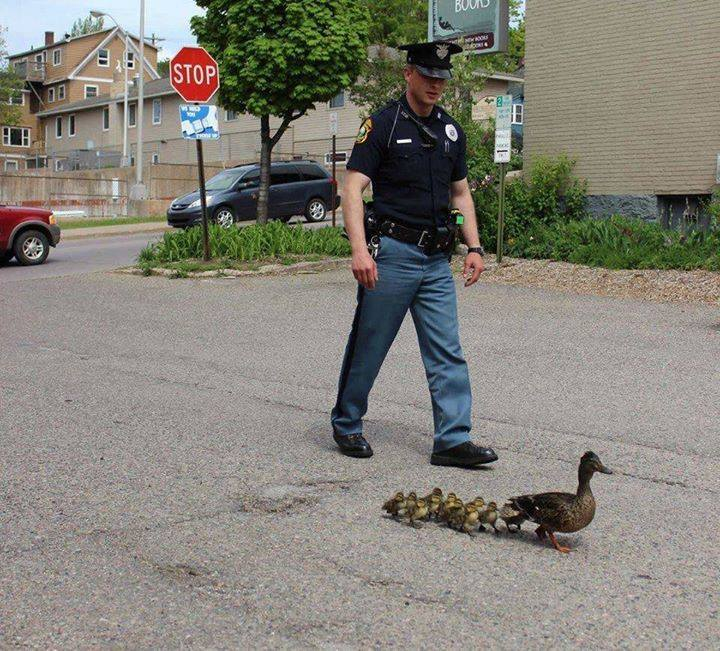 This police officer guides a family of ducks to safety after they wandered into the road..... Hats off to this policeman.....