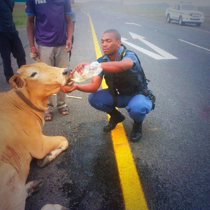 policeman gives water to a stranded cow