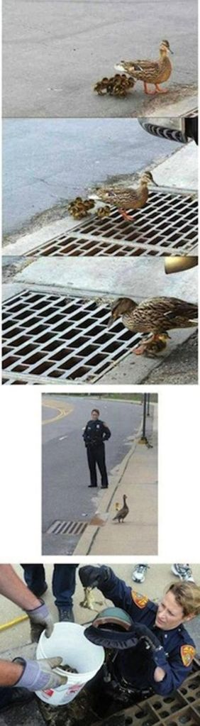 Police Officer, A Mama Duck and Some Baby Ducks