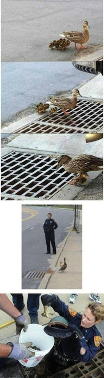 One Kind Police Officer, One Mama Duck and Some Ducklings