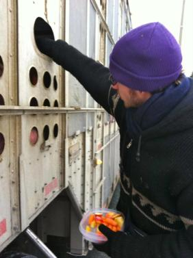 The only act of kindness these pigs will ever know - after a lifetime of torture & before a gruesome death, a volunteer feeding apples to pigs on their way to slaughterhouse
