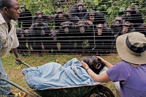 When Dorothy the chimpanzee died, this is how her friends said good-bye.