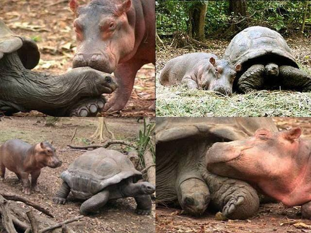 A baby hippopotamus that survived the Tsunami waves (2010) on the Kenyan coast has formed a strong bond with a giant male century-old tortoise in an animal Facility in the port city of Mombassa.