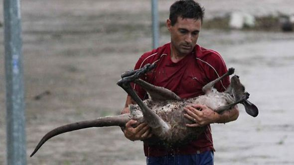 "Helping hand: Ray Cole carries the injured joey to safety. A WILDLIFE warrior who risked his life to rescue a kangaroo in Queensland's floods is a former Melbourne resident who left Victoria because he ""couldn't stand the weather"". Ray Cole, a father of five, was cheered by onlookers but threatened with arrest by police when he waded into turgid waters to pluck the drowning joey to safety. Mr Cole said ""he couldn't stand there and watch our coat of arms just drown"". ""When I was growing up on the streets of Preston we learned and lived by the motto that you reach out and help others,"" Mr Cole said. Mr Cole, 39, was among about 50 people gathered at Ipswich's One Mile Bridge who saw the distressed young animal out of its depth in the fast-flowing torrent. Picture: Villiers Nick De Source: HWT Image Library"