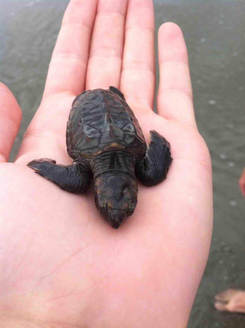 """""""A little friend we made walking along the beach. Poor little guy couldn't make it past the waves and seagulls were circling. Called the sea turtle rescue, and they told me to swim high about 50 yards out and let him swim away. A very cool experience."""""""