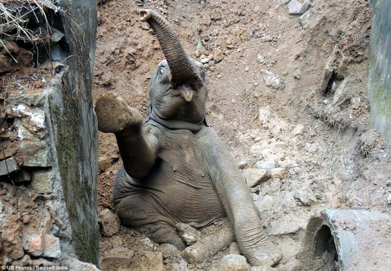 This is the moment a baby elephant tumbled into a ditch as it tried to keep up with its herd. While the rest fled, this little animal slumped down a small hill under a railway track in Assam, India. Thankfully, the train came to a halt and dozens of passengers leaped out to help pull him to safety.