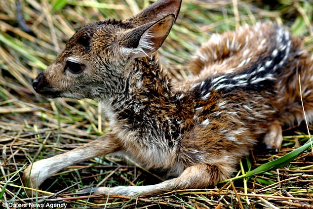 Cute: The fawn rests on the side of the river bank after it was rescued by the boy in Bangladesh