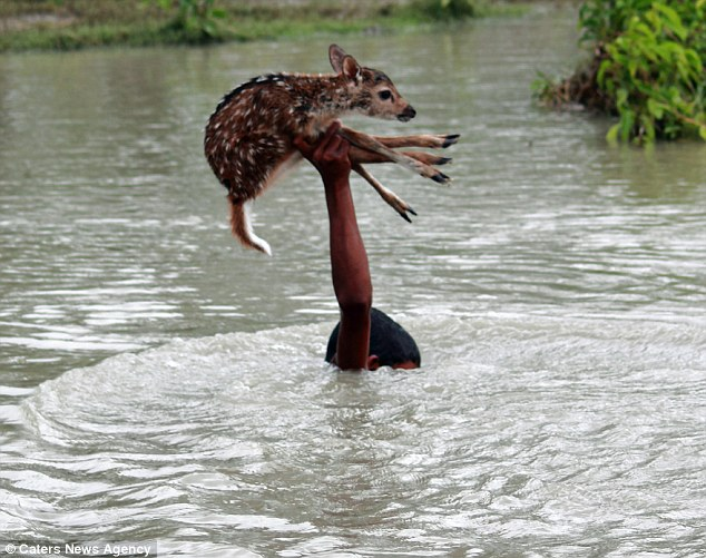 When he finally made it to the other side the locals cheered as the deer was reunited with its family.The incident took place in Noakhali, Bangladesh, when the young fawn became separated from its family during torrential rain and fast-rising floods.Wildlife photographer Hasibul Wahab captured the brave act while visiting on a photography trip.He said the Noakhali locals lose a lot of deer during the rainy season and that they have to do all they can to protect them.