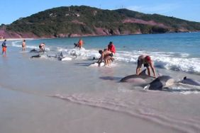 Earlier this week, 30 dolphins were carried ashore with the tide on a beach near Rio de Janeiro, Brazil. The dolphins were beached, wriggling helplessly for a few minutes, until about a dozen beach-goers began freeing the animals from the sand. In a matter of minutes, all the dolphins were safely swimming in deeper water. Incredibly, there were no injuries or fatalities during the incident. Check out the amazing video footage!