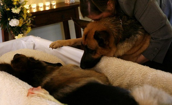 dog looks at his friend dog in a coffin
