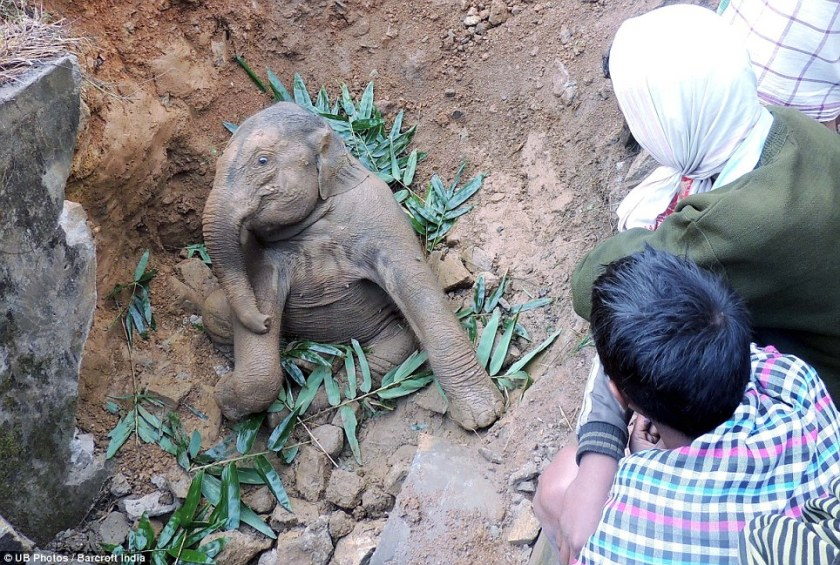 Baby elephant gets stuck in a muddy ditch and has to be pulled out by Indian villagers