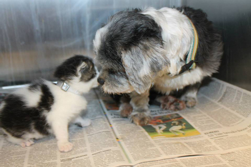 Dog Finds A Tiny Kitten, Risks Everything To Save Her1