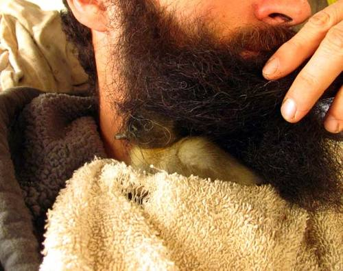Duckling Spends 41 Days in a Man's Beard-Nest