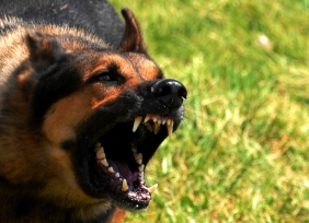 german shepherd growling