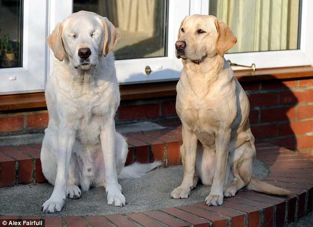Seeing Eye Dog Leading Blind Dog