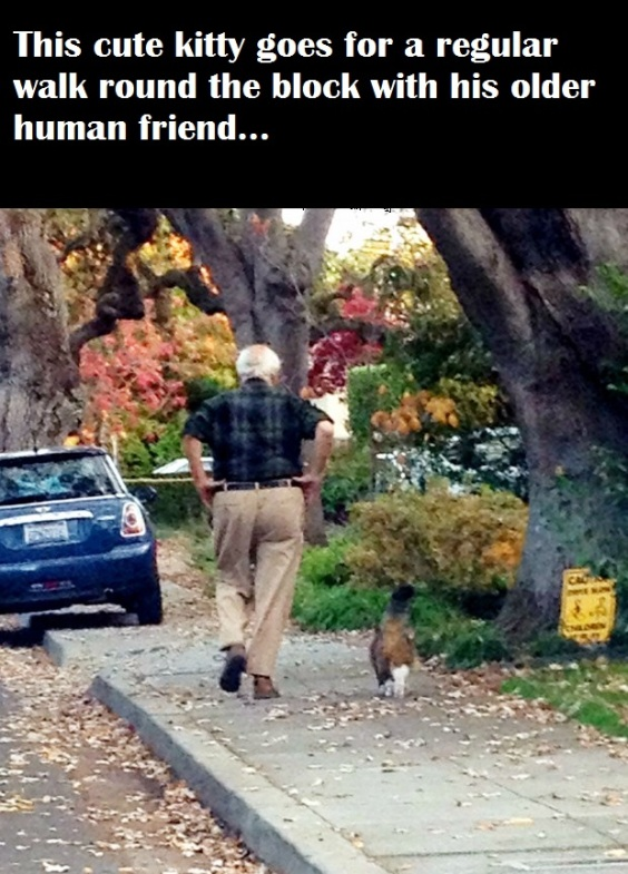 This cute kitty who goes for a walk with this older gentleman regularly.