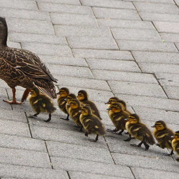 Baby-ducks-following-mother