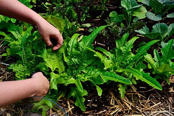 Italienischer_lettuce_harvest