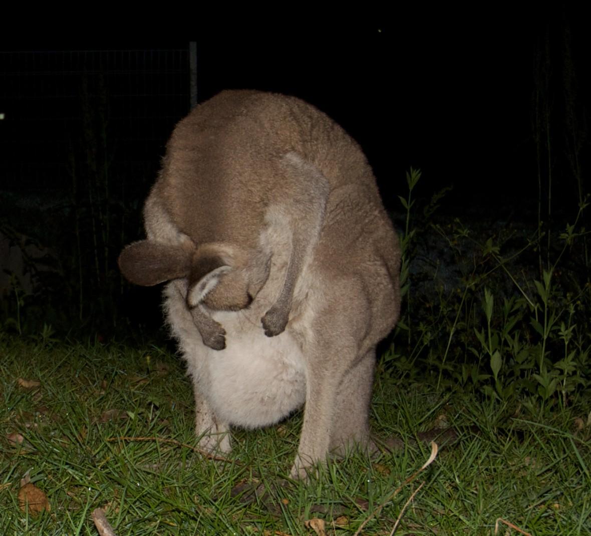 kangaroo kindness