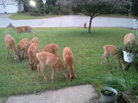 Mom's Apples Brings all the Deer to the Yard