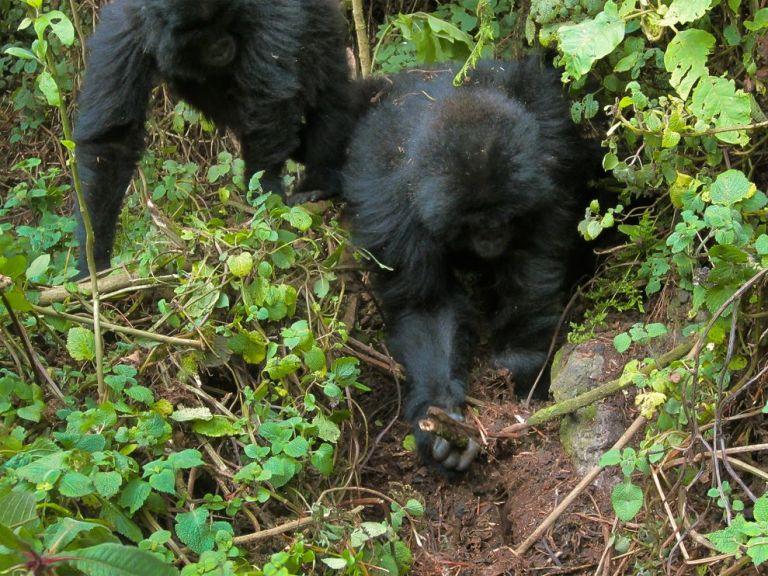 Wild gorillas Rwema and Dukore destroy a primitive snare in Rwanda earlier this week.  Photograph courtesy Dian Fossey Gorilla Fund