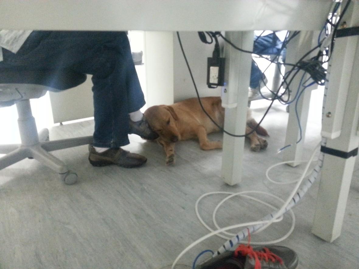 guide dog sleeping
