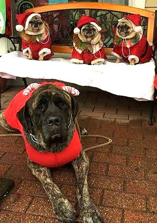 Gizelle English Mastiff