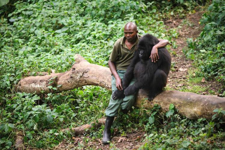 Park-ranger comforting a gorilla after it's mother was killed by poacher.