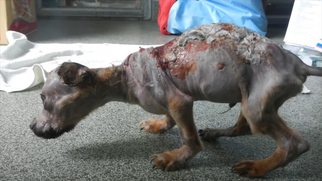 This Strong, Small Puppy Survived Abuse With Boiling Hot Water