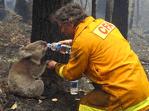 Australian Firefighter feeding a koala some water after a wildfire.