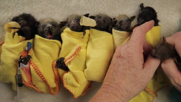 baby bats rescued from a heat wave