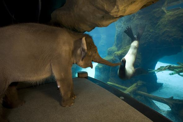 Elephant being taken to see other animals around a zoo.
